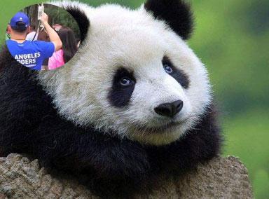 情侣打吊瓶还要去看熊猫
