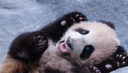 """大熊猫母女先后离世 幼崽""""花生""""出生不到半年"""
