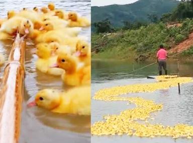 萌翻!男子划竹筏遛5000多只小黄鸭