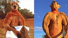 澳洲网红肌肉袋鼠去世