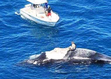 澳洲男子爬上座头鲸尸体 遭捕食鲨鱼群围困