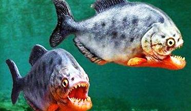 实拍疯狂食人鱼抢食牛肉