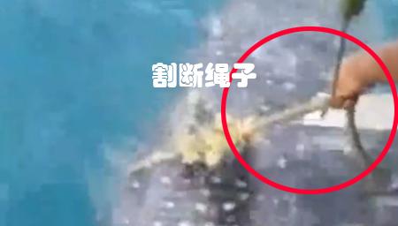 鲸鲨被困主动向渔民求助