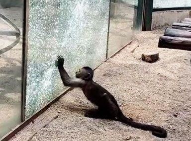 动物园猴子拿石头砸碎玻璃墙