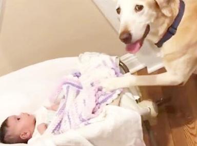 狗狗溜进婴儿房不出来