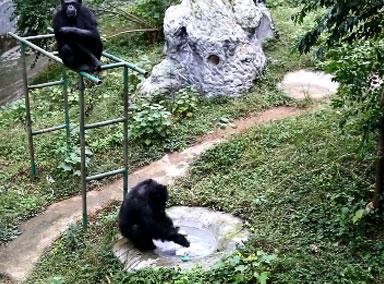 有模有样!黑猩猩给饲养员洗衣服