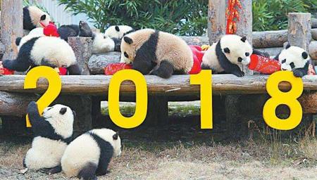 17只大熊猫宝宝集体亮相