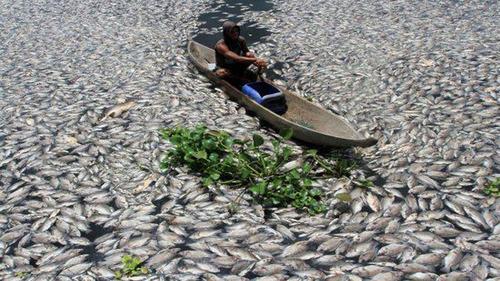 印尼一湖泊突现上万条死鱼:鱼尸满湖 场面骇人