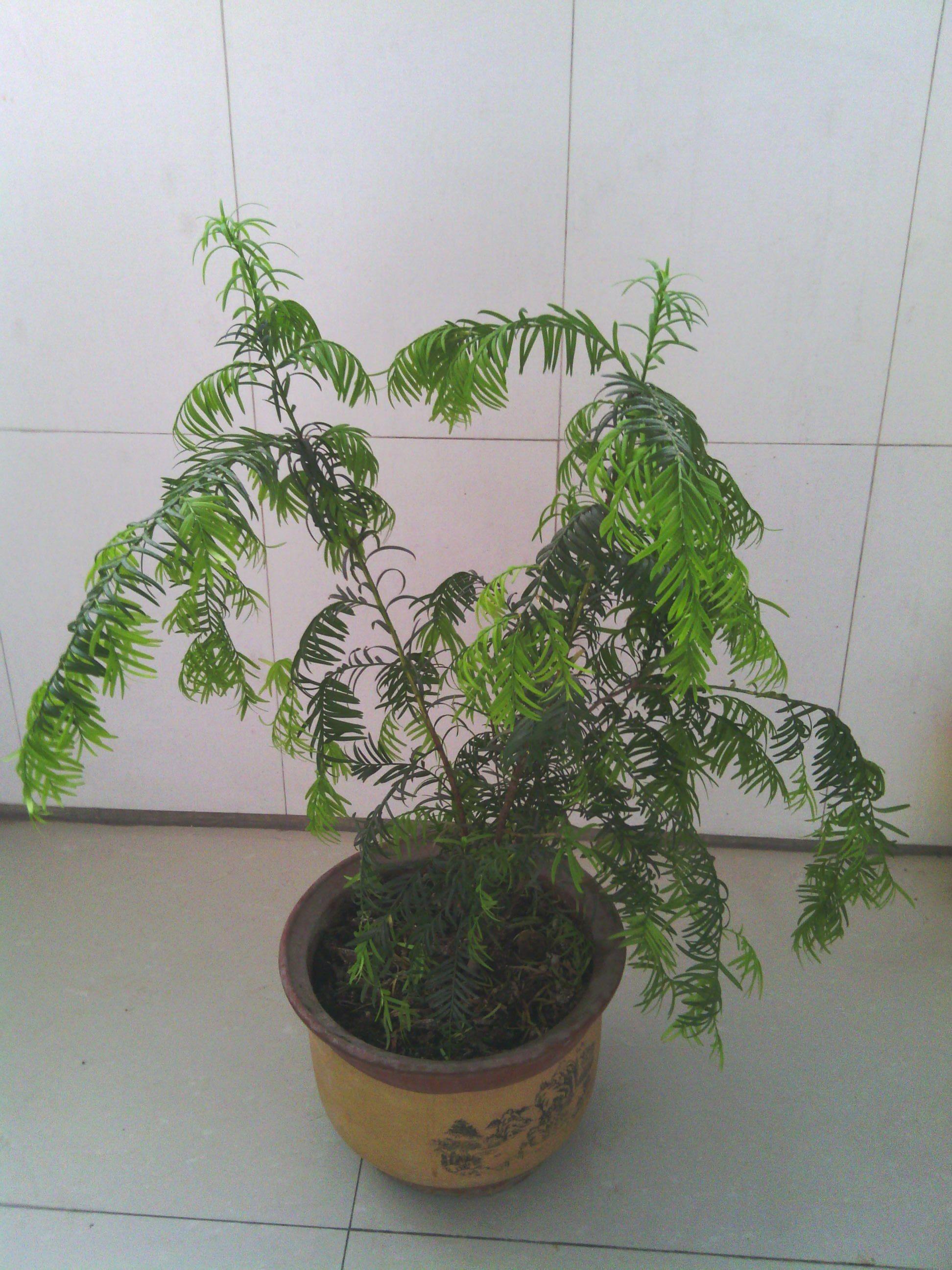 我的红豆杉应该怎样修剪?图片