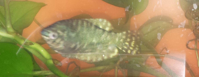 关于丽丽鱼的分辨_丽丽鱼,丽丽鱼公母图片