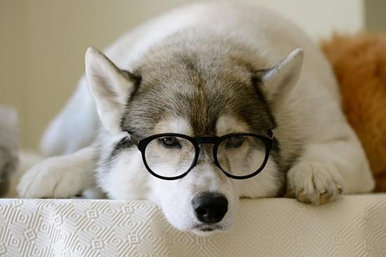 哈士奇戴眼镜头像