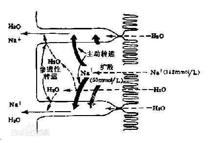 体细胞动作电位形成