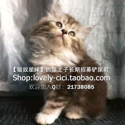 英短三花猫价格