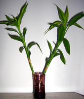 土培富贵竹怎么浇水