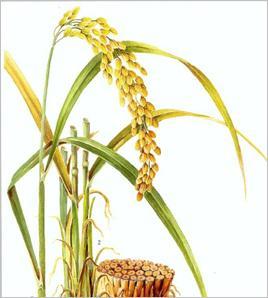 生稻花步资源