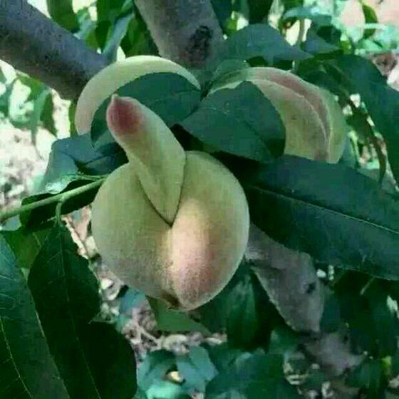鸡巴巨乳小�_想鸡巴一样的桃子 这是放大的图片 求采纳说是有好运 其实就是