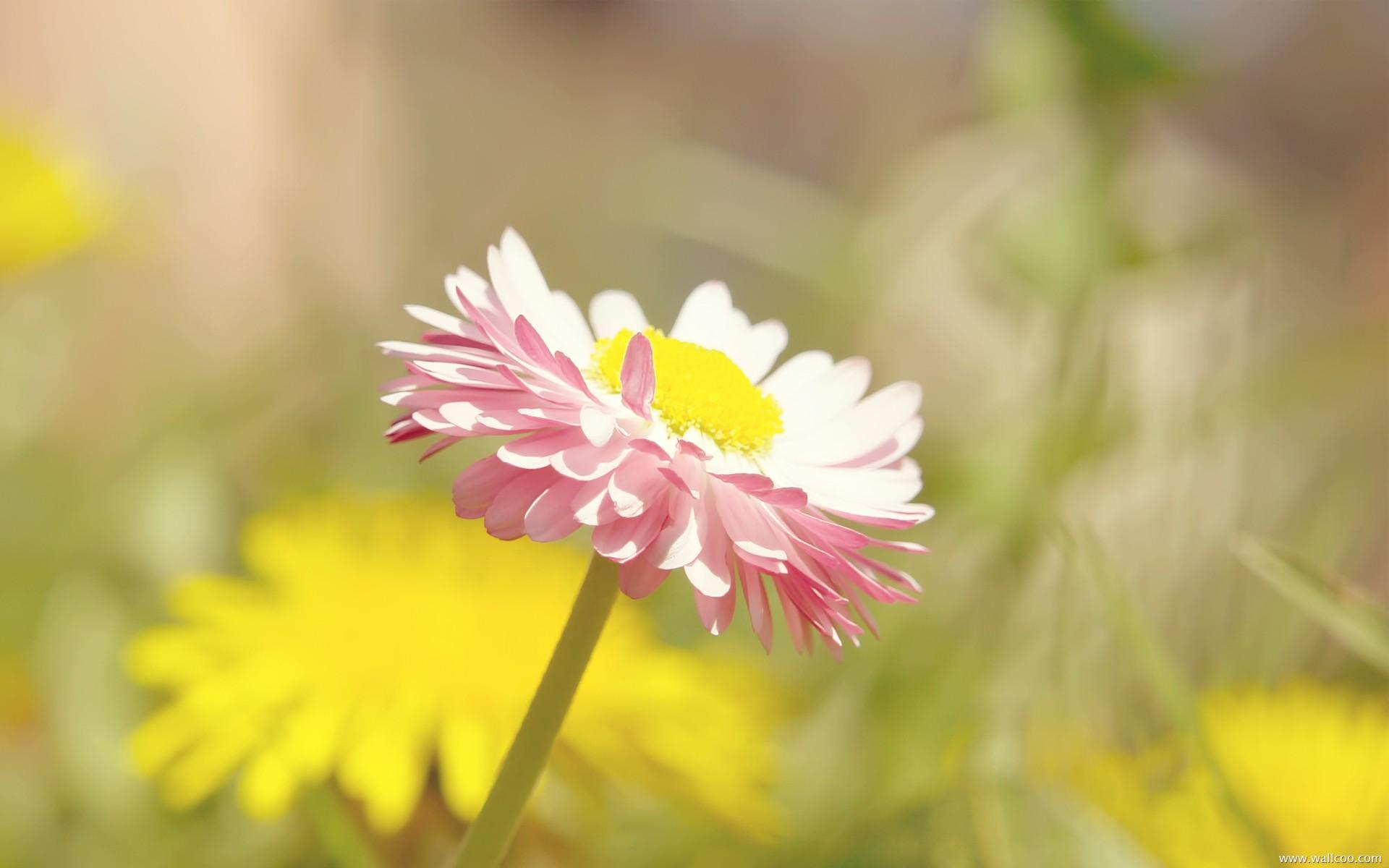 小雏菊生长过程