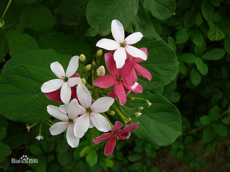 我想知道这种花的名字,只有图片 它刚开花时是白色的,然后变成红色
