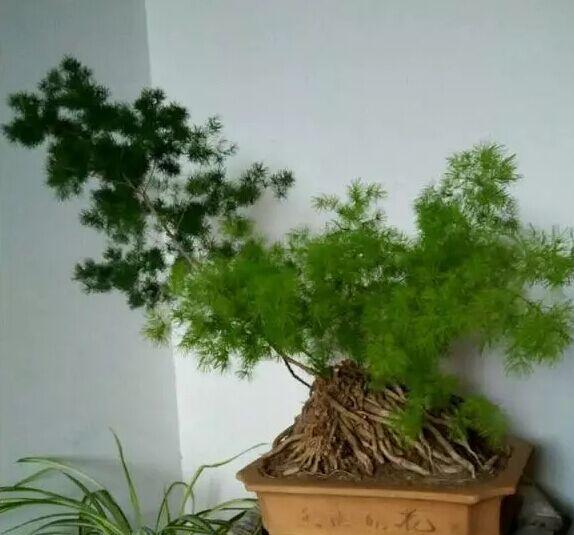 一种长得像文竹的植物