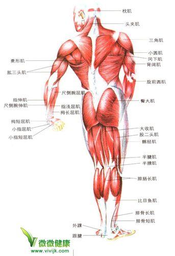 人体肌肉分布图_求人体肌肉高清分布图