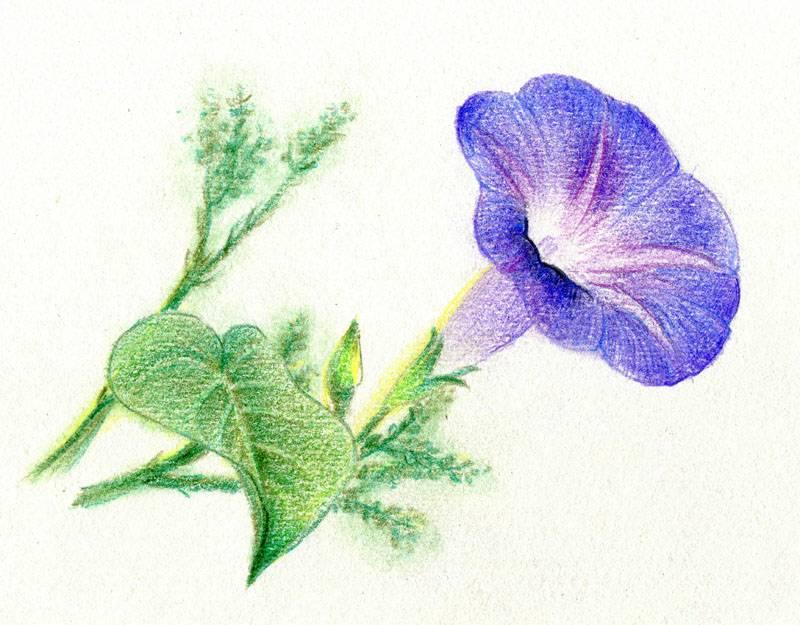 求几张黑白 彩铅画图片 ,最好是花卉的.图片