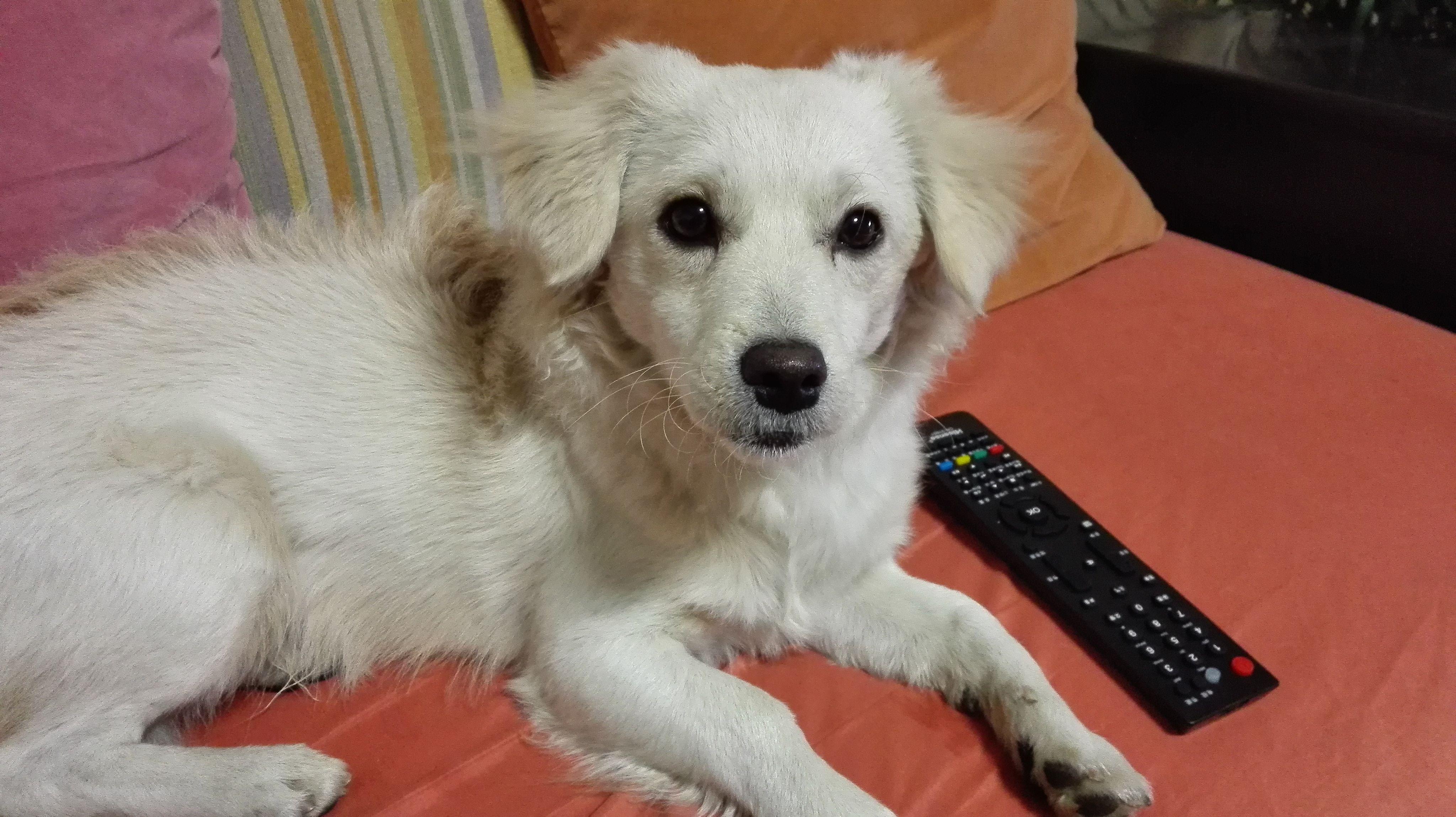 白色狗狗品种大全及图片图片
