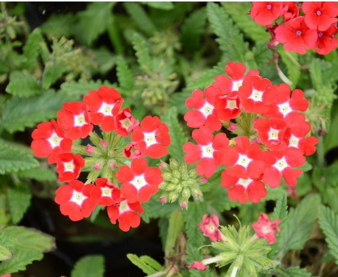 有种花会开很多小红花簇拥一起