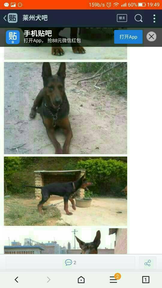 田园犬和哈士奇的杂交