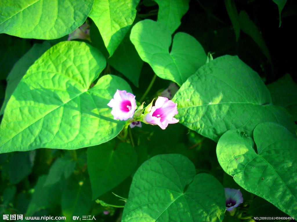 喇叭花叶子图片_牵牛花的叶子