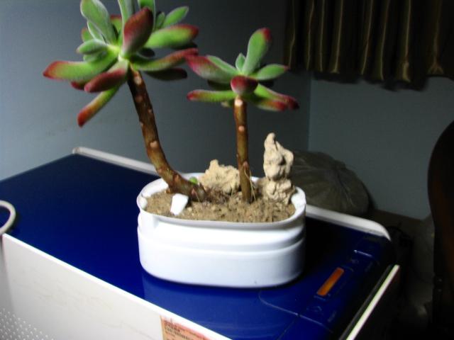 鹿角海棠的杆子木质化