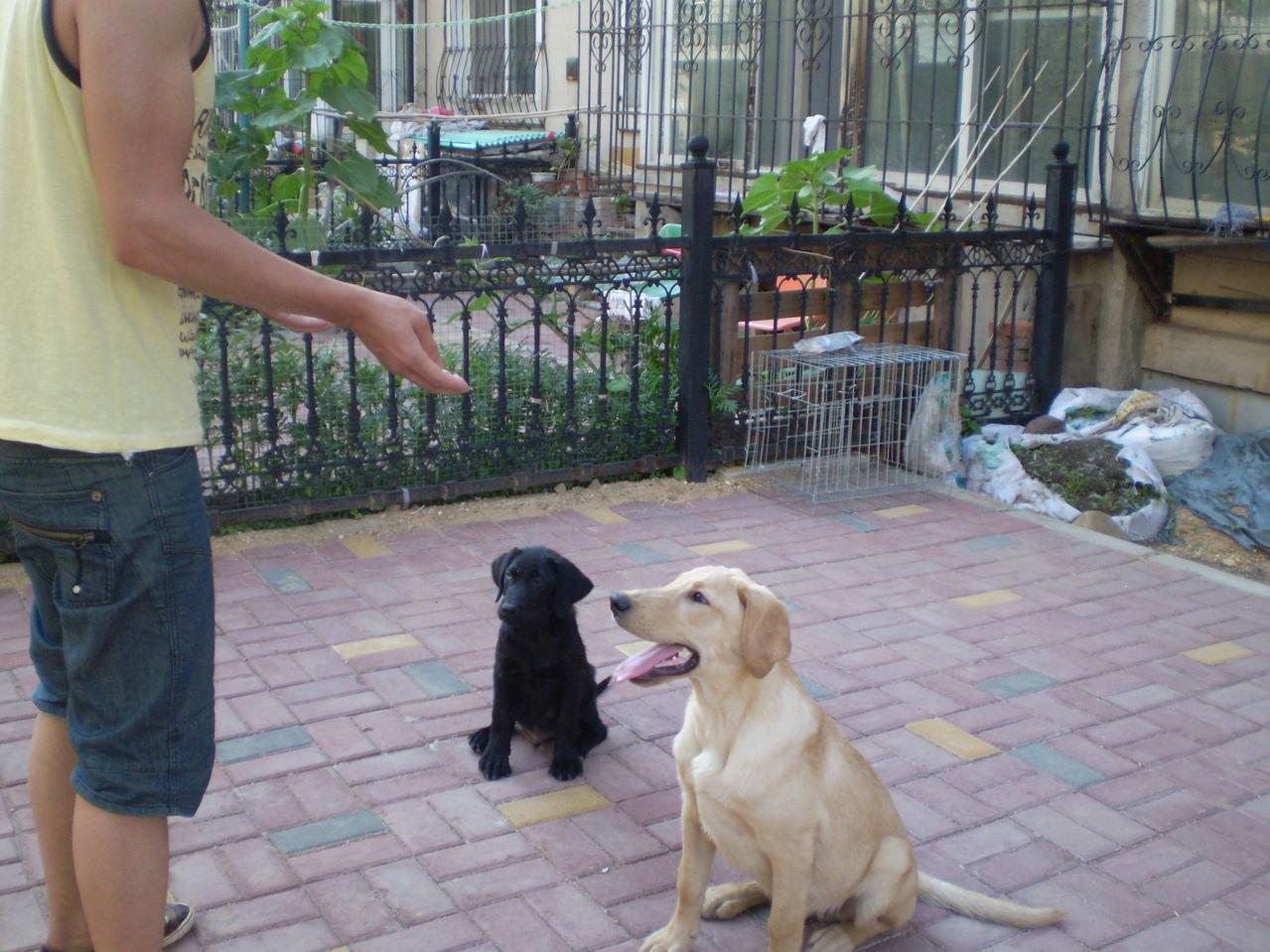 拉布拉多只能喂狗粮
