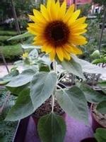 矮向日葵怎么种