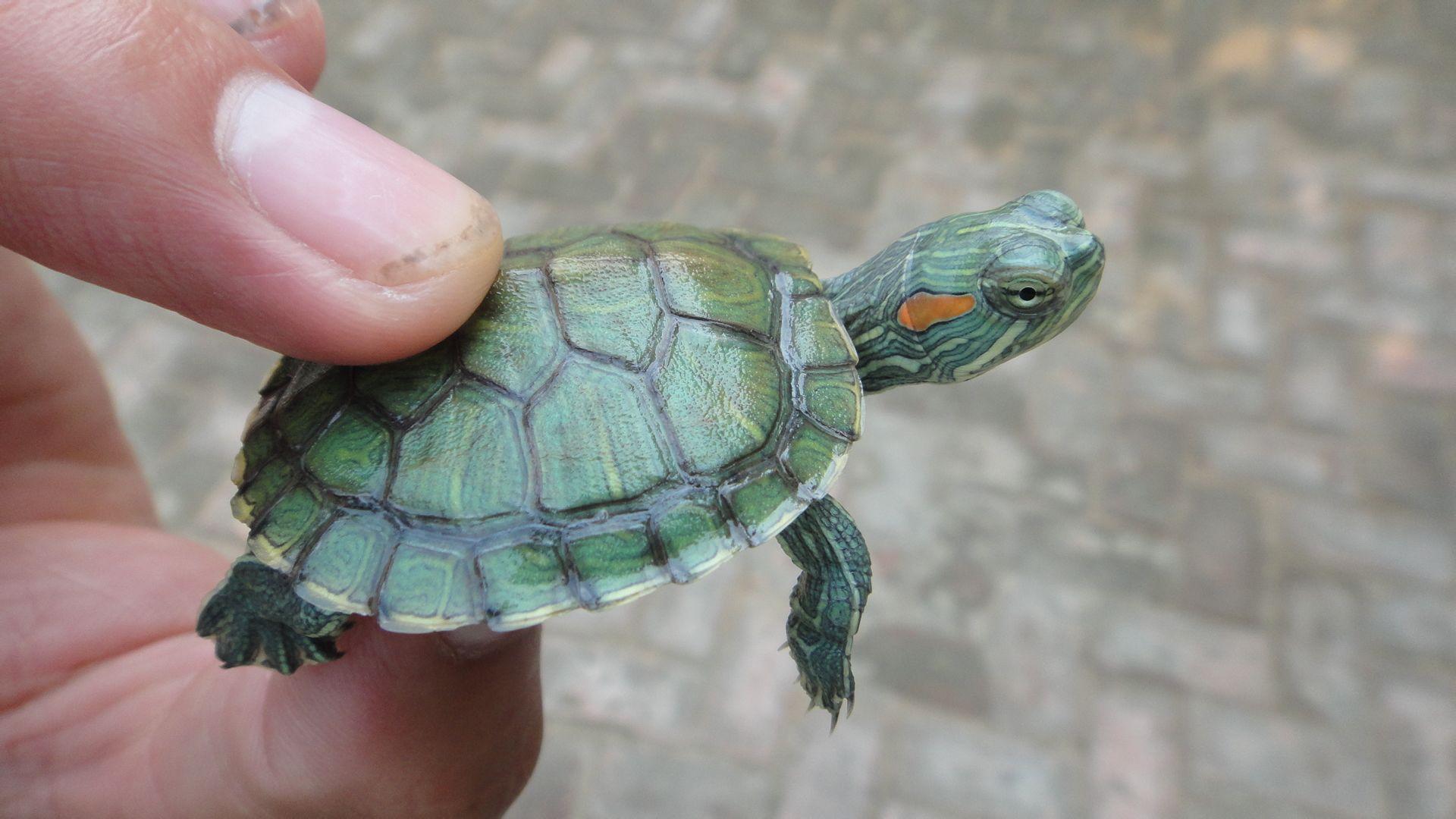 的宠物龟_野保协会负责人介绍,近年来经非正常渠道被作为宠物龟引进我国.