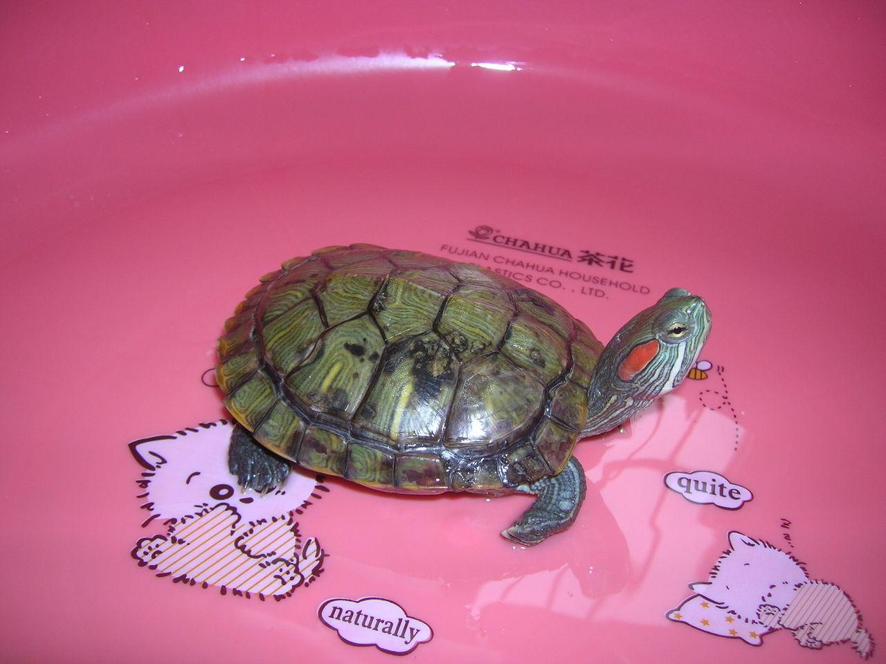 乌龟什么颜色好_关于乌龟的问题,专家进!