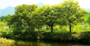 樟树的叶子长什么样