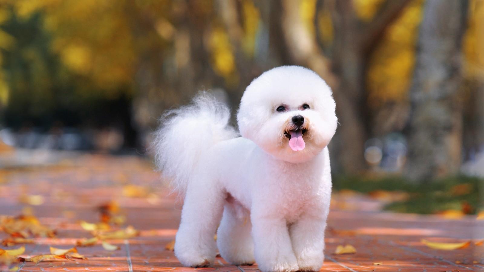 幼犬比熊泪痕怎么去掉