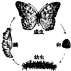 如图为蝴蝶发育过程中的四种虫态图,请据图分析下列说法中正确的是( )