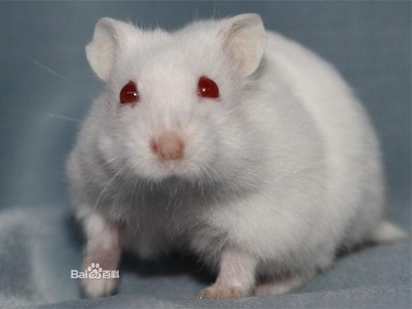 蚂蚁仓鼠的眼睛到晚上变成白色的?大面积杀银狐药哪种好图片