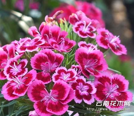 石竹花是康乃馨吗