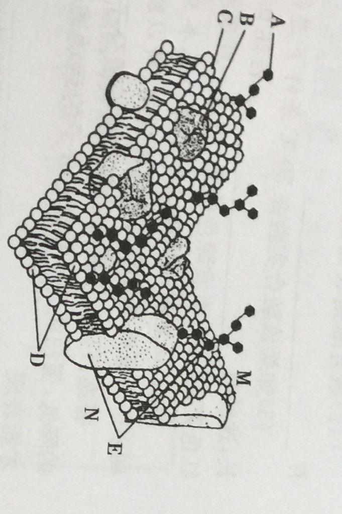植物细胞膜的简笔画法