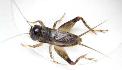 蟋蟀虫王麻头图片