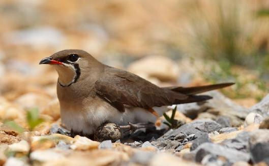 珍珠鸟在孵蛋,有什么注意事项吗?小鸟孵出来后需要做什么吗?