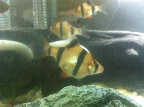 虎皮鱼公母图片