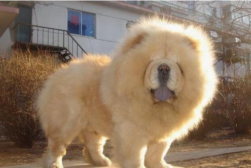 长得像狮子一样的狗