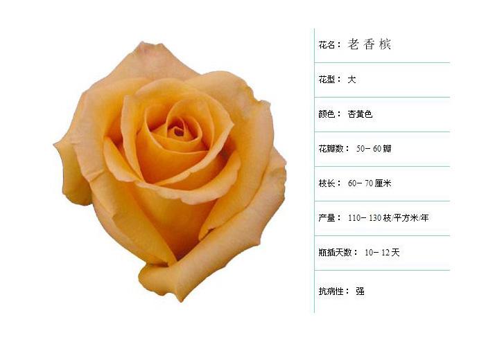 金凤凰月季花
