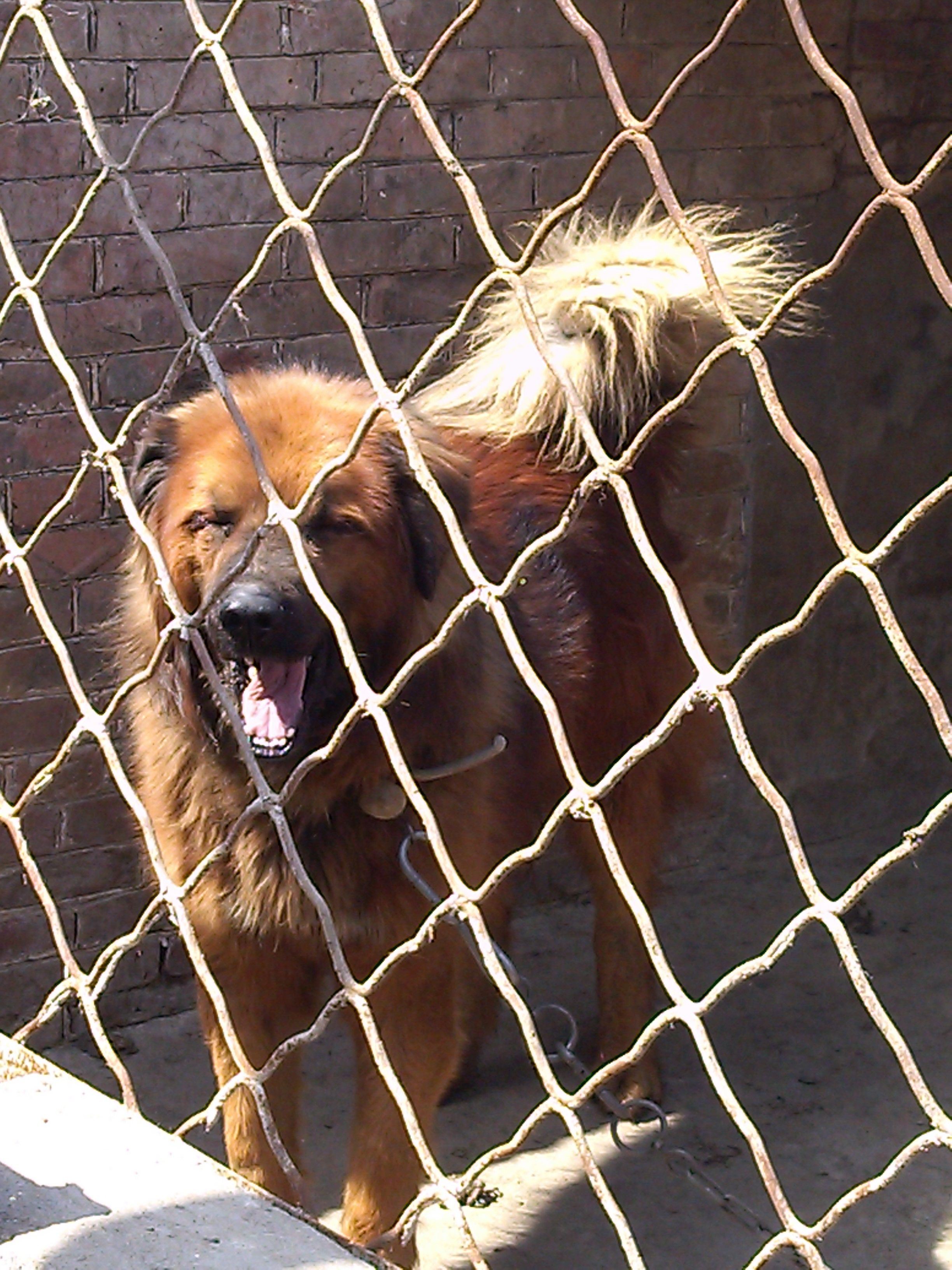 藏獒的上下领各有一尖锐的犬齿   本仿真动物标本藏獒犬   高清图片
