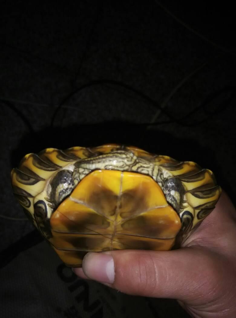 巴西红耳龟怎么分公母的图片楼主看图很直观啊~~ 红耳龟分辨公母 图片