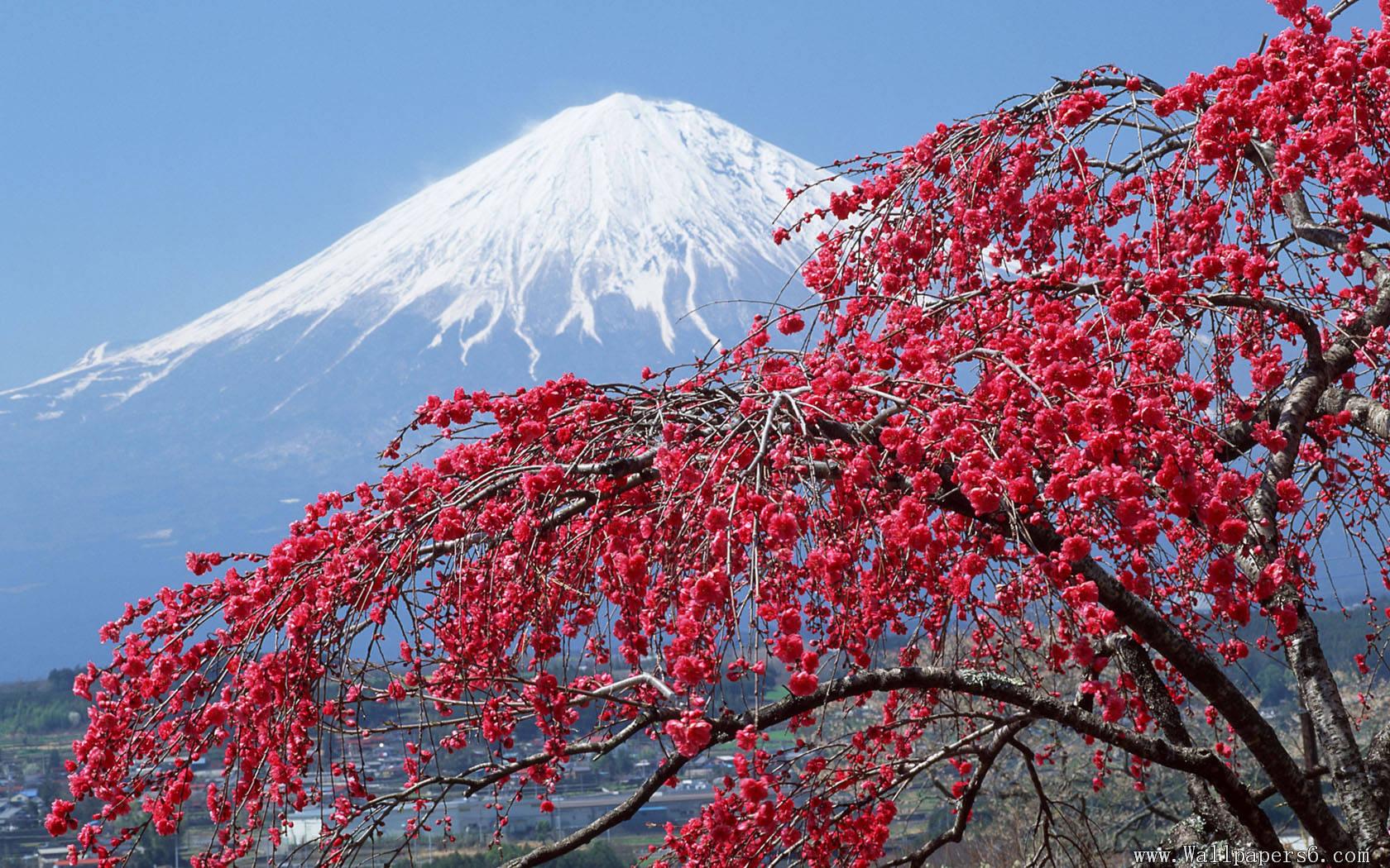 谁有富士山和樱花的高清图片啊