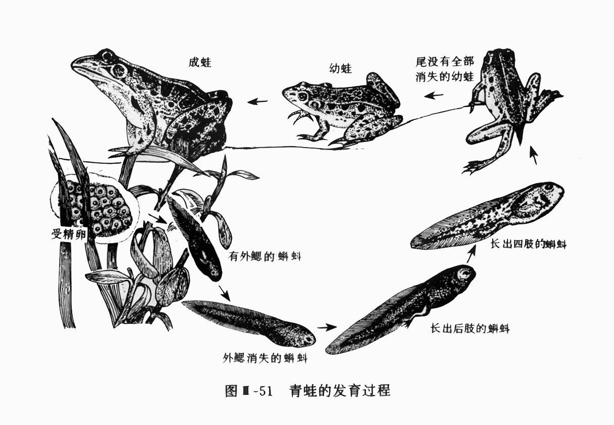 怎样画出小蝌蚪变成青蛙的成长过程图片