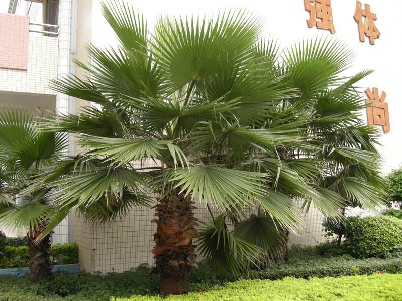 扇形叶子是什么树